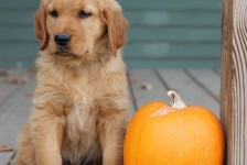 Windy Knoll Goldens are all AKC registered golden retriever puppies.