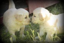As sweet as can be, Jenny's almost four week old AKC Golden Retriever Puppies share a kiss