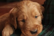 cute-as-a-button-this-little-red-akc-golden-retriever-puppy-enjoys-some-snuggles