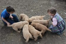 Seven beautiful AKC Golden Retriever Male Puppies chow down on healthy Zignature Dog Food in Vermont