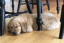 Home Sweet Home for a beautiful, happy AKC Golden Retriever Puppy from Windy Knoll Goldens