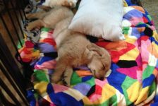 Shandy is a happy, healthy, beautiful AKC Golden Retriever from Windy KNoll Goldens enjoying her new home !