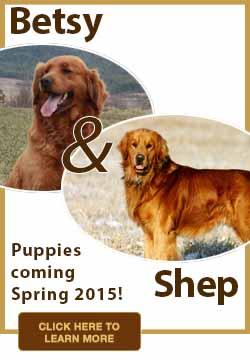 2014-Golden-Retriever-Puppies-Windy-Knoll-Goldens