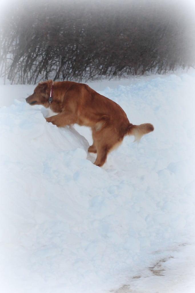 Golden Retrievers like the snow