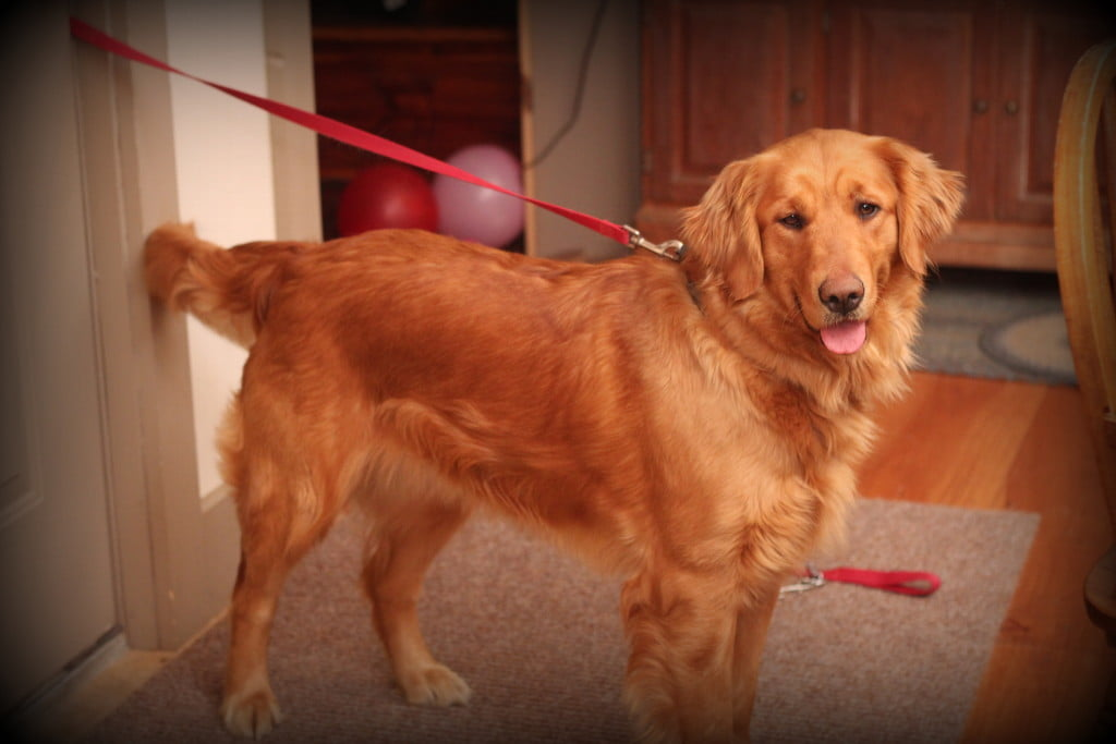 Our Beautiful AKC Windy Knoll Polly