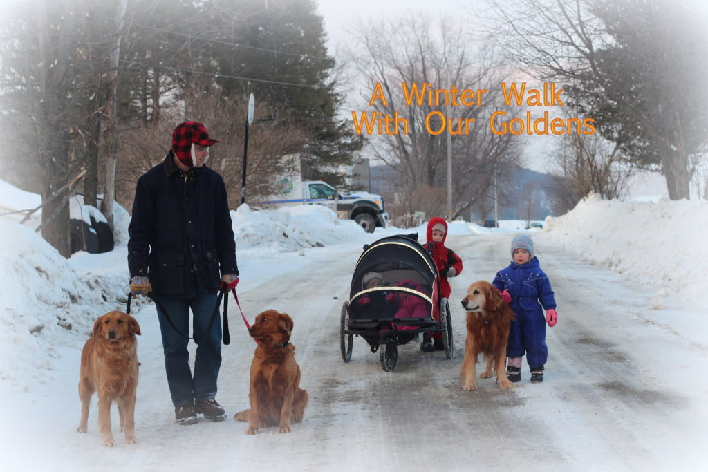 Walking with Windy Knoll Goldens