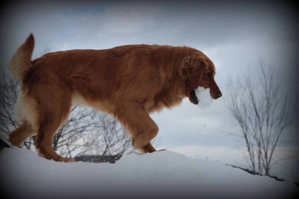 Our AKC Golden Polly joined in our snowball play