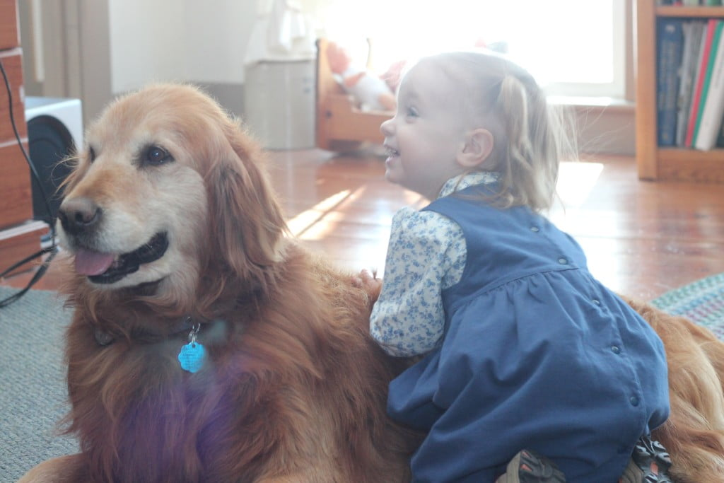 Snuggles for a friendly Golden Retriever at Windy Knoll Farm