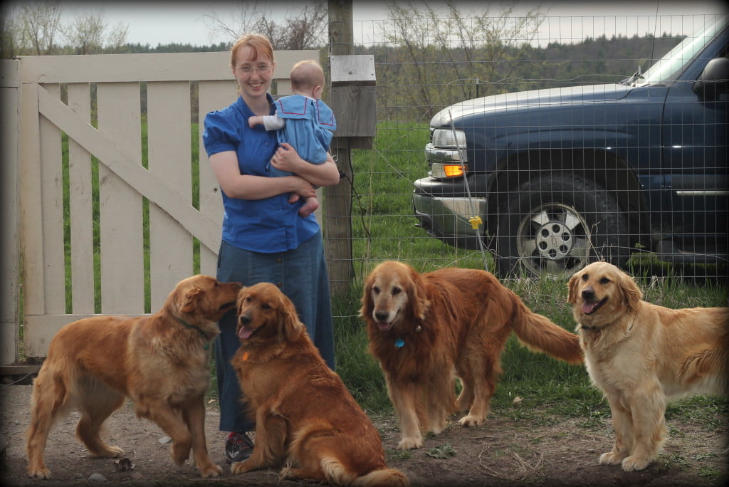 Our AKC Golden Retrievers give me a warm welcome