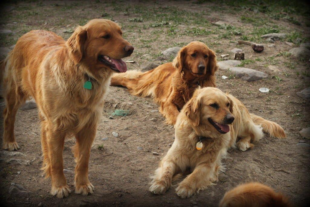 Our three AKC golden retriever females