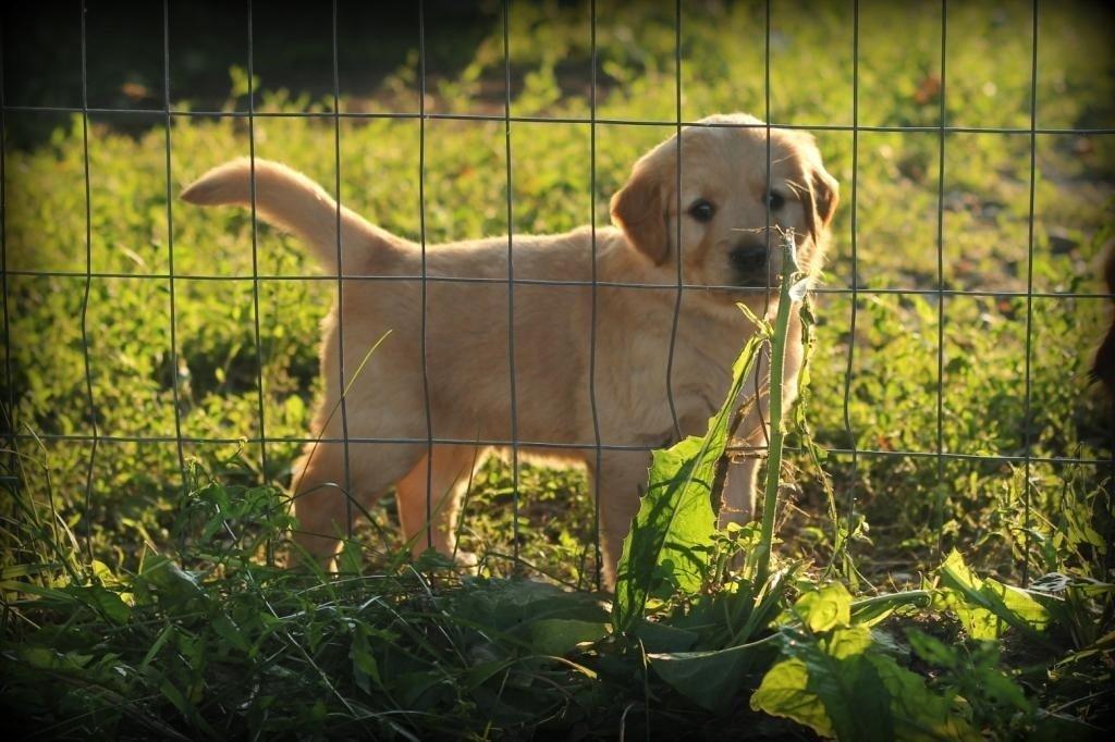 A AKC Windy Knoll Golden Retriever puppy Enjoying New England Sunshine
