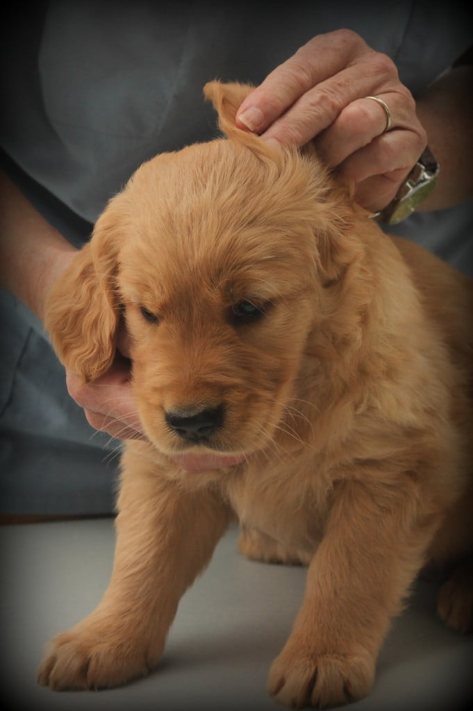 A thorough vet exam for AKC Golden Retriever puppies in New England includes an ear check