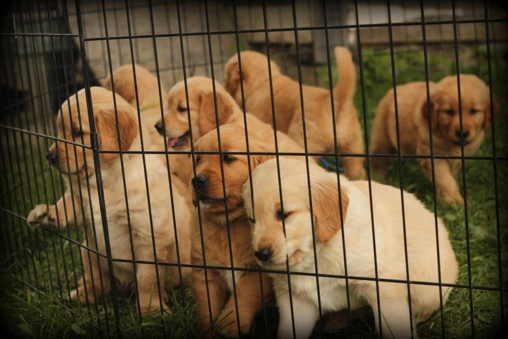 AKC Golden Retriever puppies waiting to be vet examined