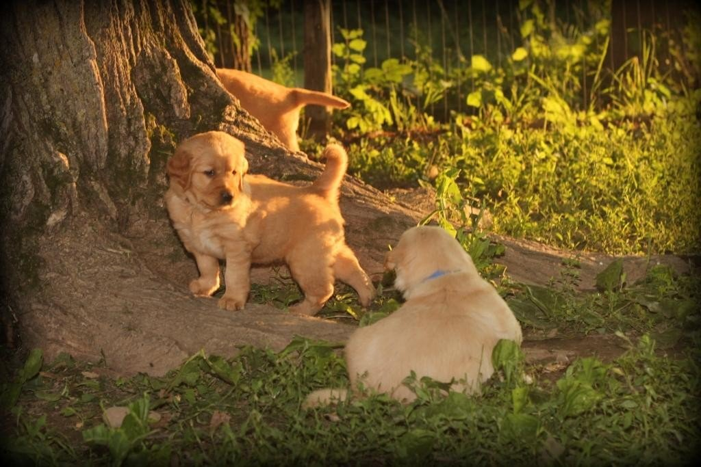 Adventure in the Vermont countryside for our golden puppies