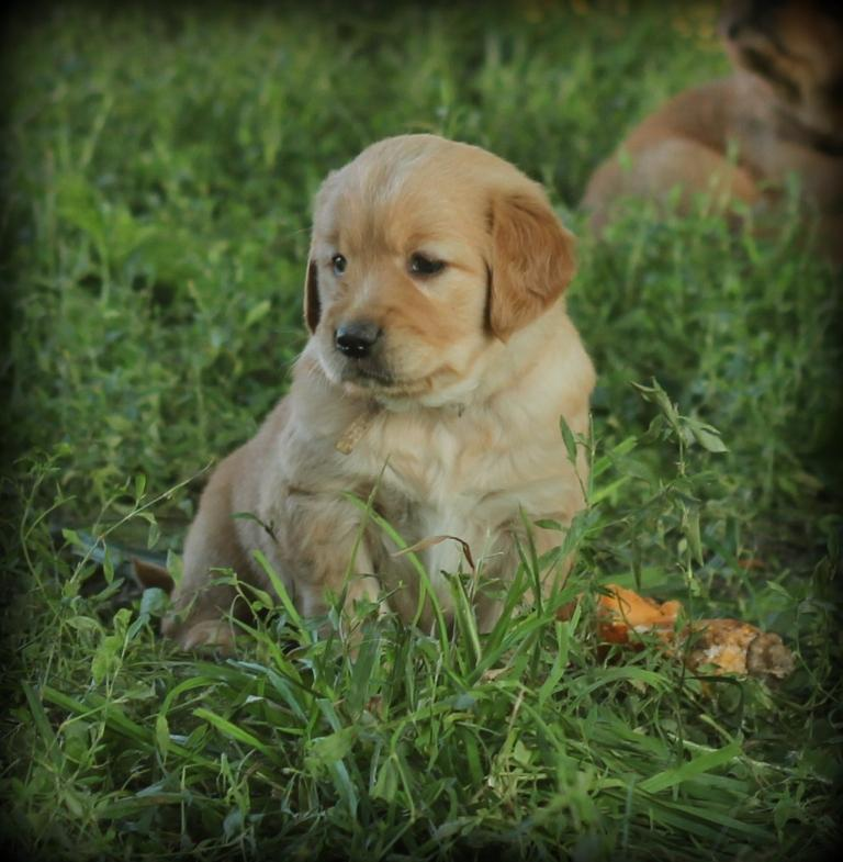 One of our adorable AKC Golden Retriever pups
