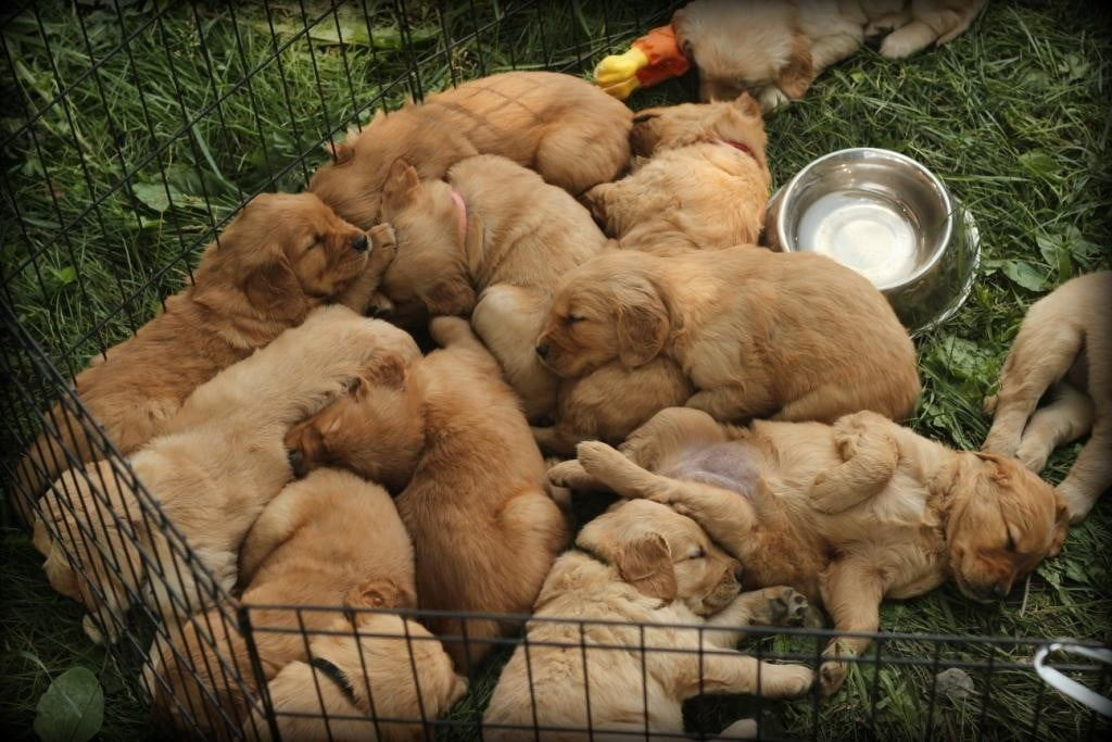 Our AKC Golden Retriever puppies are all worn out after a morning at play in the New England countryside
