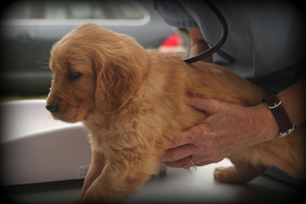 Our AKC Golden Retriever puppies are vet checked before they leave our vermont home