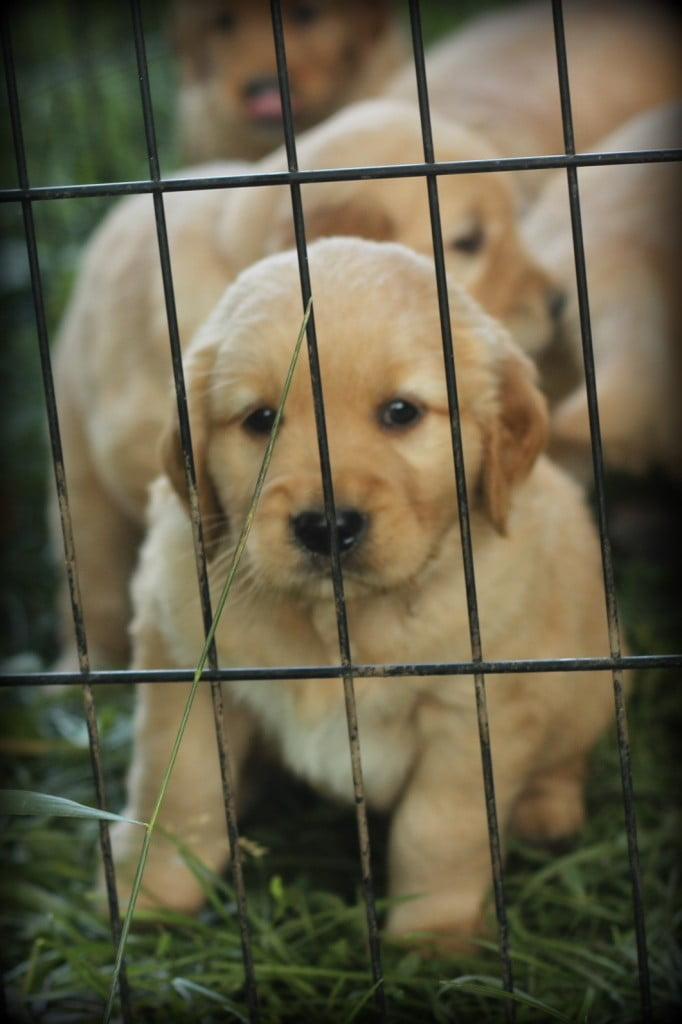 Our Golden Retriever puppy  wants to play with us