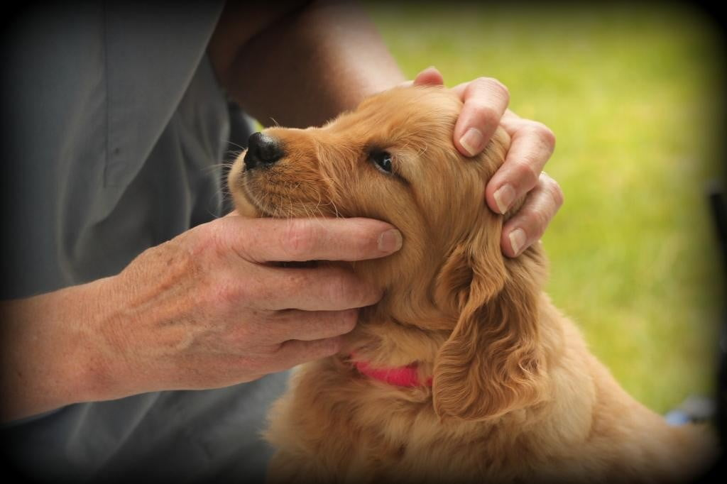 Our New England raised AKC Golden Retriever puppies are all examined by a vet