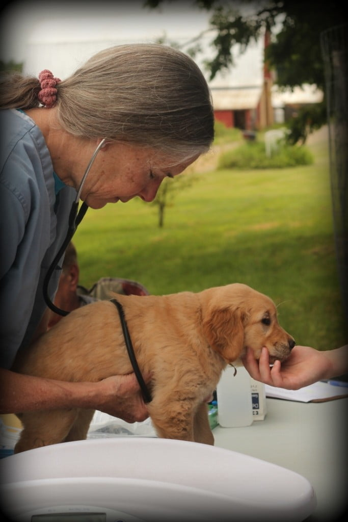 Our New England raised AKC puppies are all vet checked prior to leaving Windy Knoll Farm