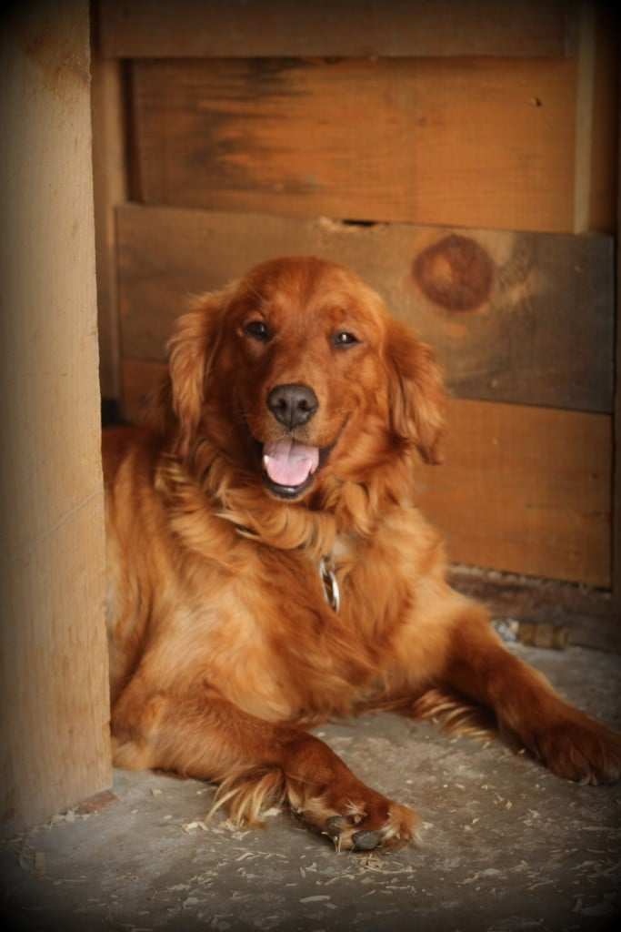Our sweet AKC Golden Betsy relaxes as we work