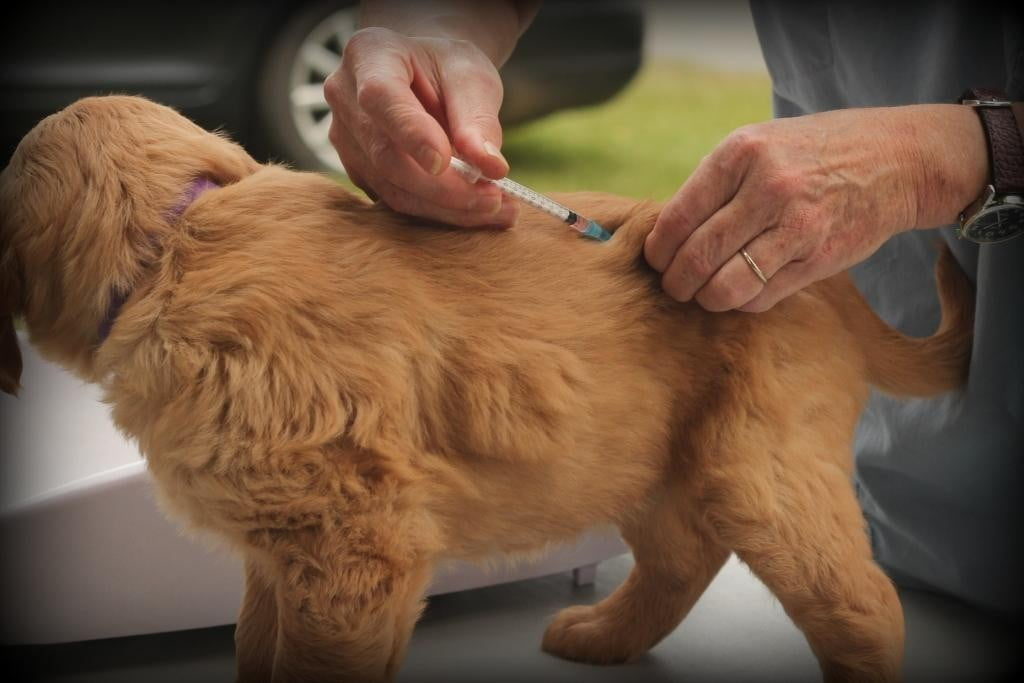 Vaccinations by our vet for our vermont raised golden retriever puppies