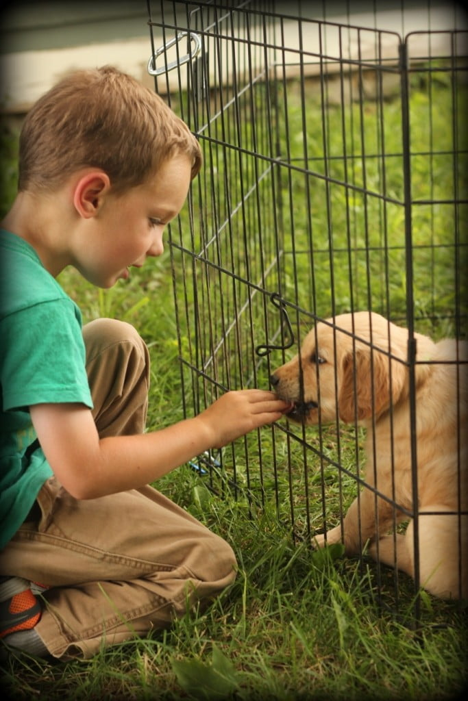 Windy Knoll AKC Golden Retriever puppies are well socialized with children