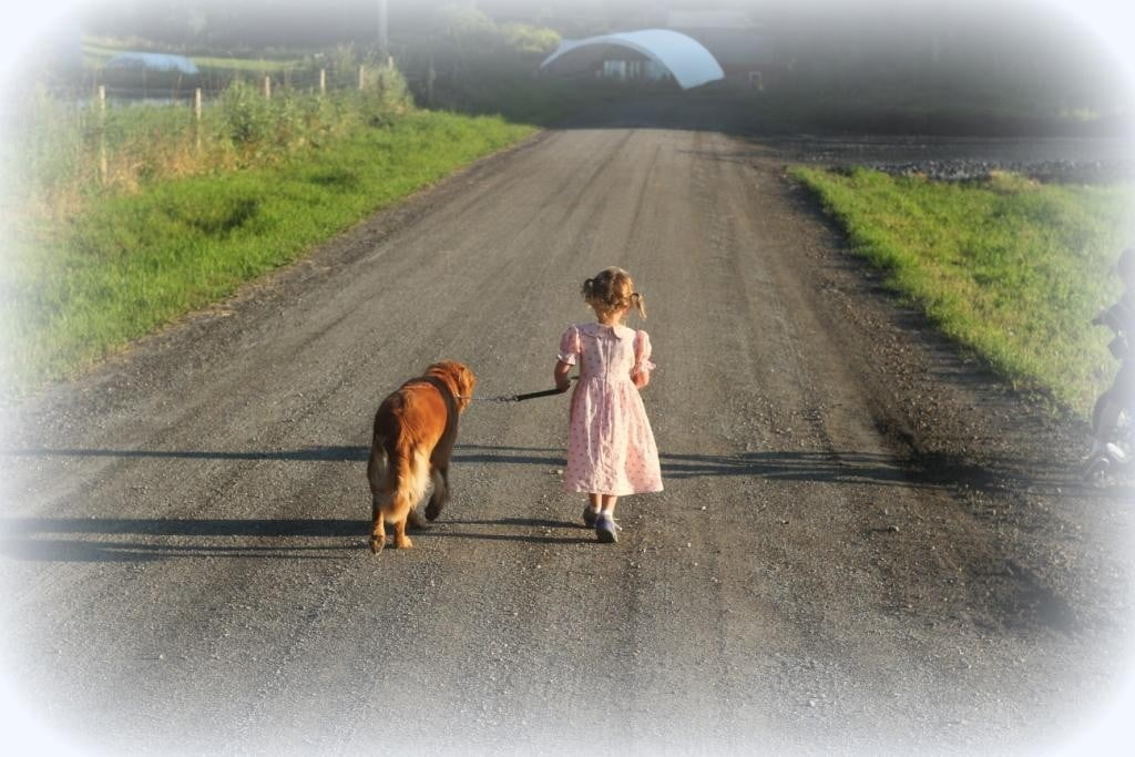 Mary walks one of our AKC Golden Retrievers, Windy Knoll Polly, down the road