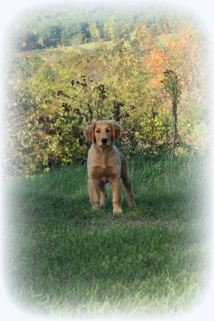 Our handsome new AKC Golden Retriever Male Puppy