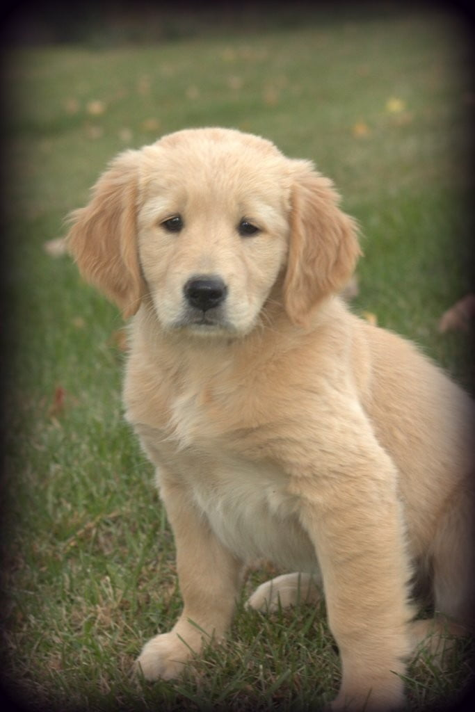 A Vermont raised AKC Golden Retriever for Windy Knoll Goldens
