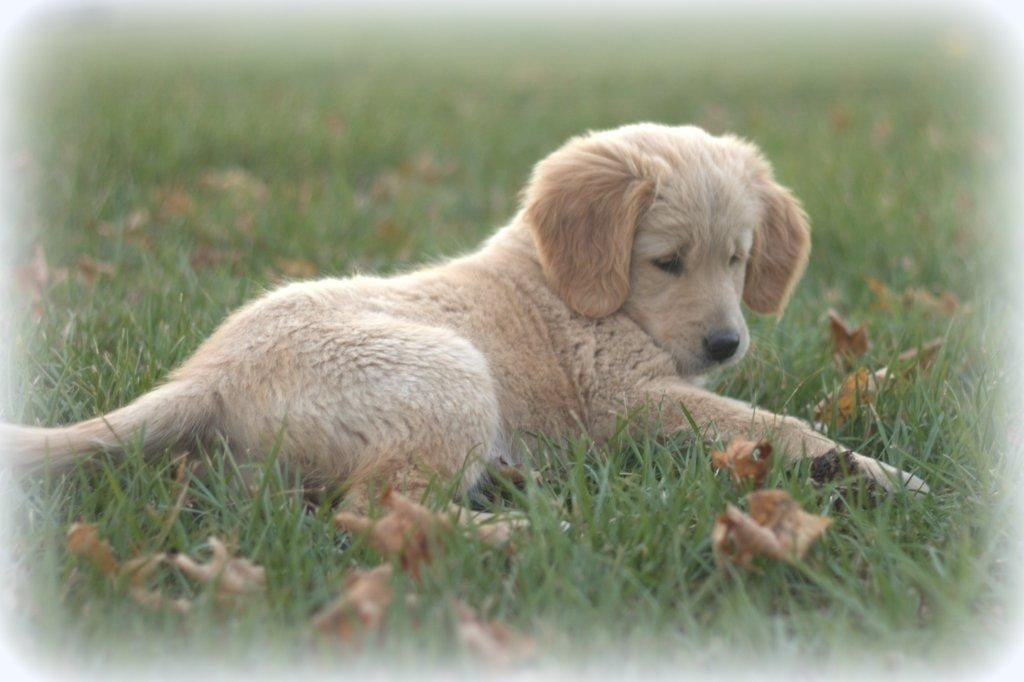 Adorable and cute, Windy Knoll ACK Golden Retriever Meg plays in the New England countryside