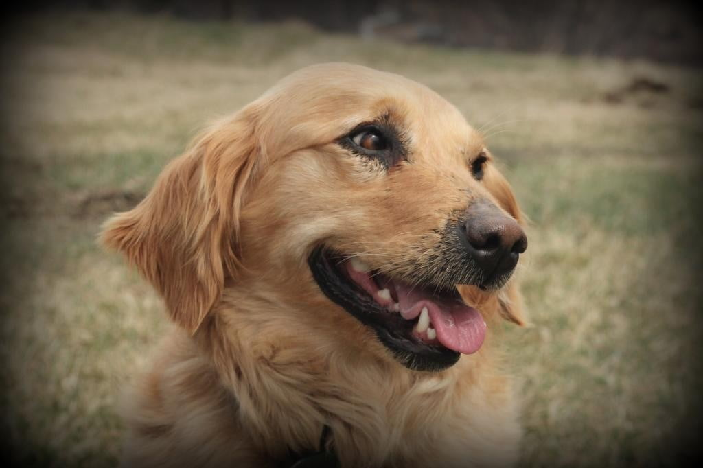 AKC Windy Knoll Jenny's golden retriever puppies are due to arrive in early May 2016