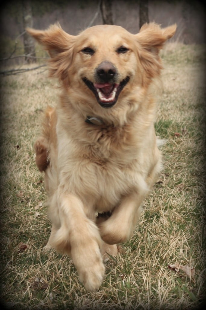 Jenny is happy - she has AKC golden retriever puppies on the way!