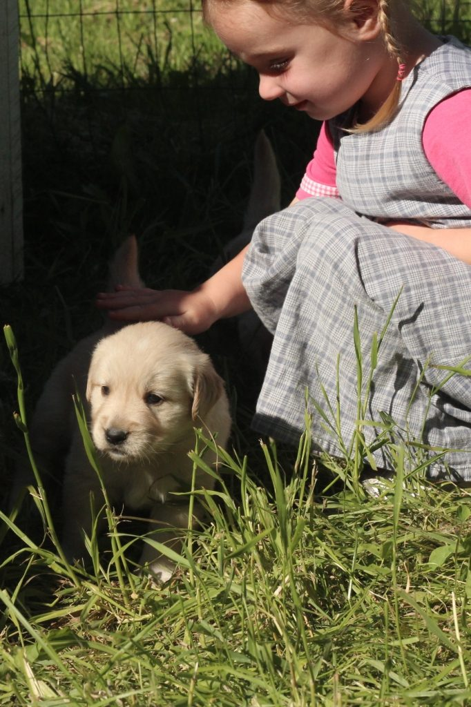 As our adorable AKC Golden Retriever puppies grow, we enjoy more interaction with them