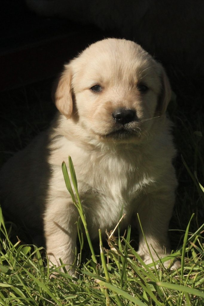 Each passing day adds cuteness to the sweet chubby faces of our almost month old AKC Golden Retriever puppies raised in the New England countryside