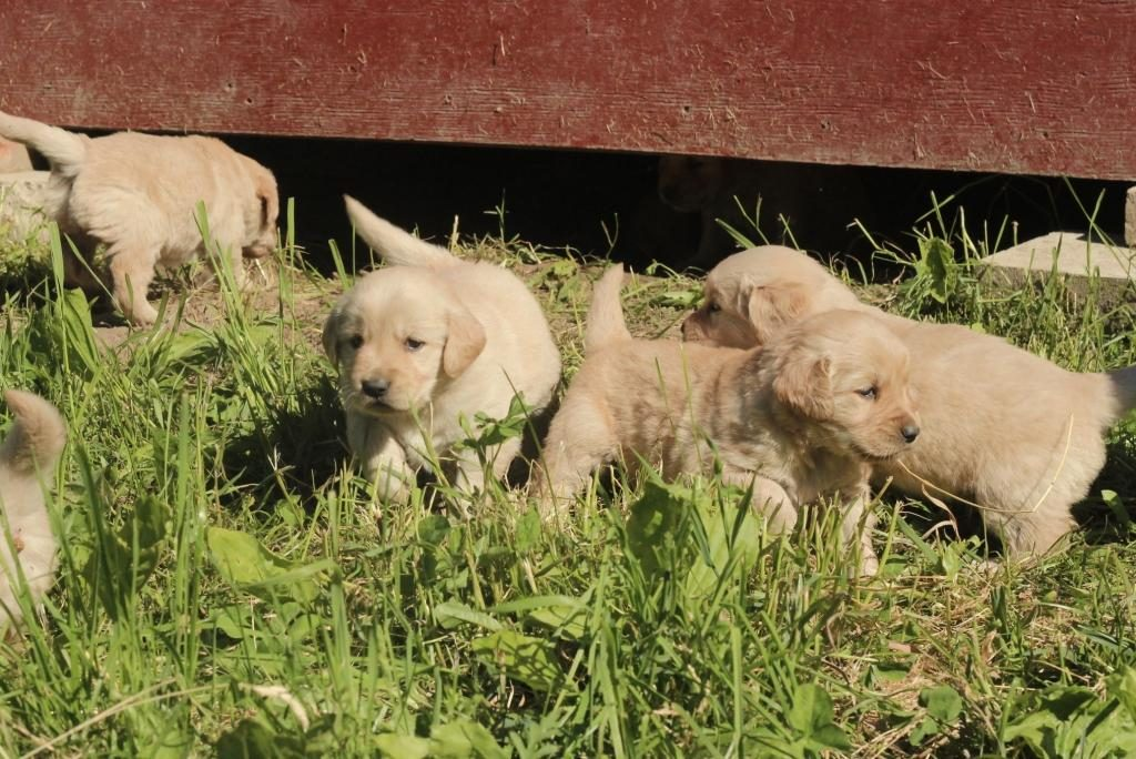Jenny's cute little AKC puppies are ready for a group romp in the New England countryside