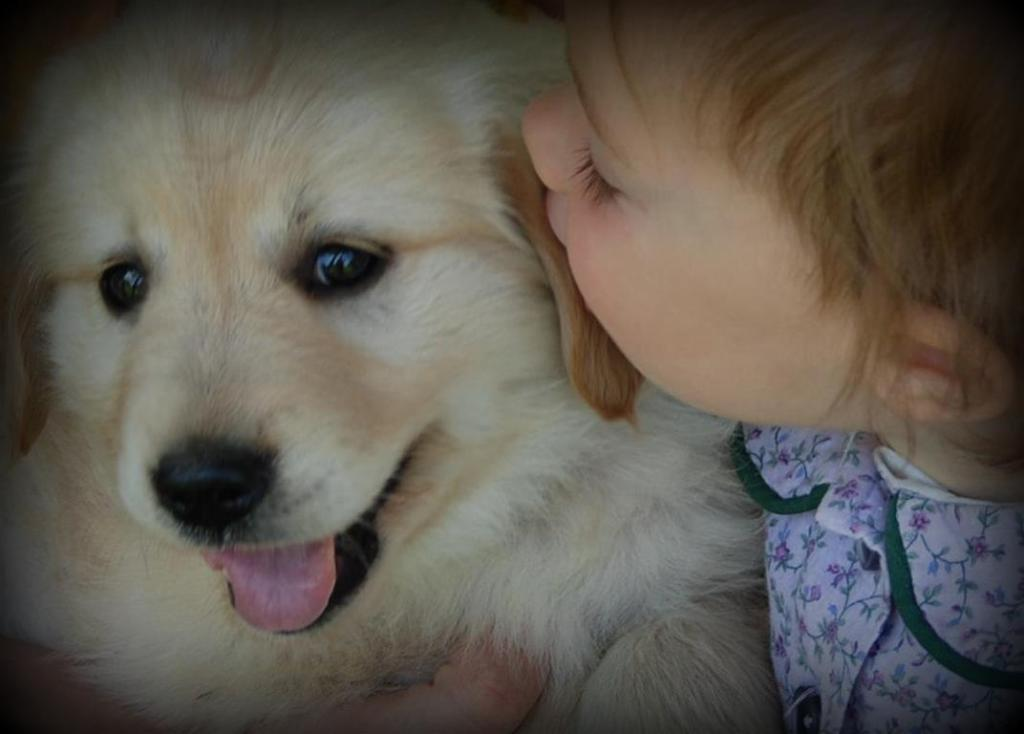 sweet baby kisses for a sweet golden retriever puppy windy knoll