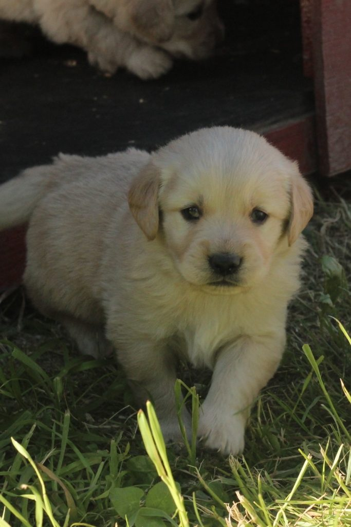 This little girl from Windy Knoll Jenny's litter of AKC Golden pups is ready to explore