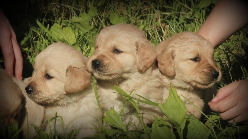 Three curious, cute AKC Golden Retriever males from Jenny's litter
