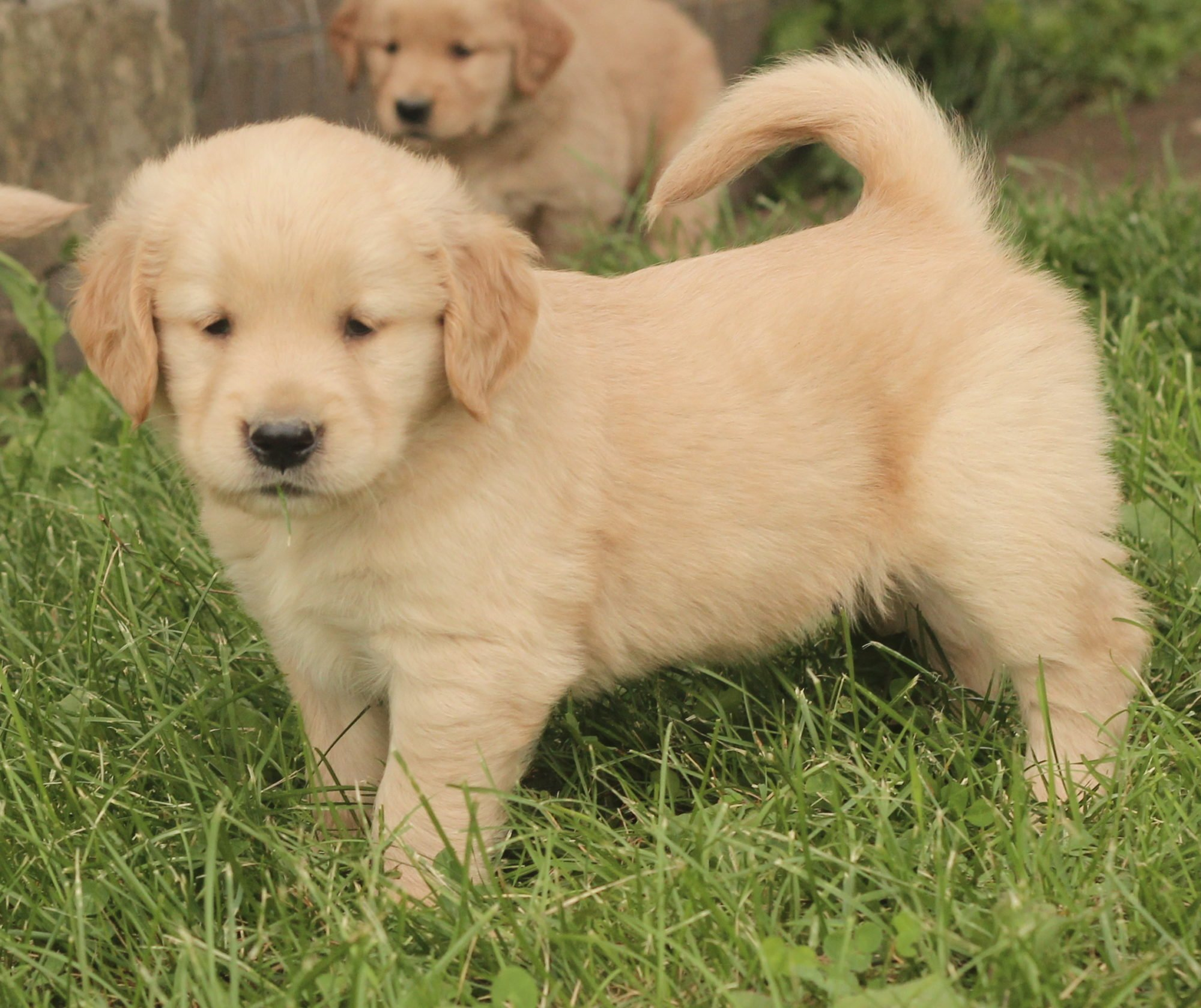 A Boatload of Sunshiny Golden Puppies Photos! - Windy ...