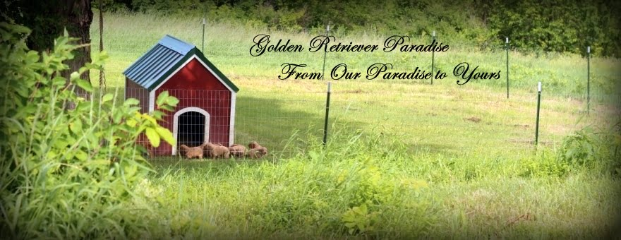 Golden Retriever Paradise From Our's to Yours