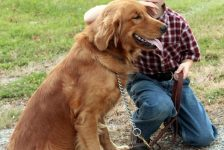 AKC Golden Retriever Grant of Windy Knoll Goldens has phenomenal hip rating