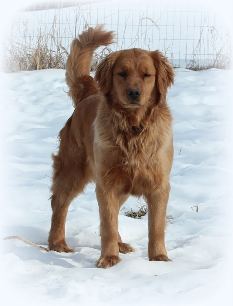Vermont breeders of AKC Golden Retrievers are proud owners