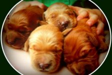 Polly's AKC Puppies
