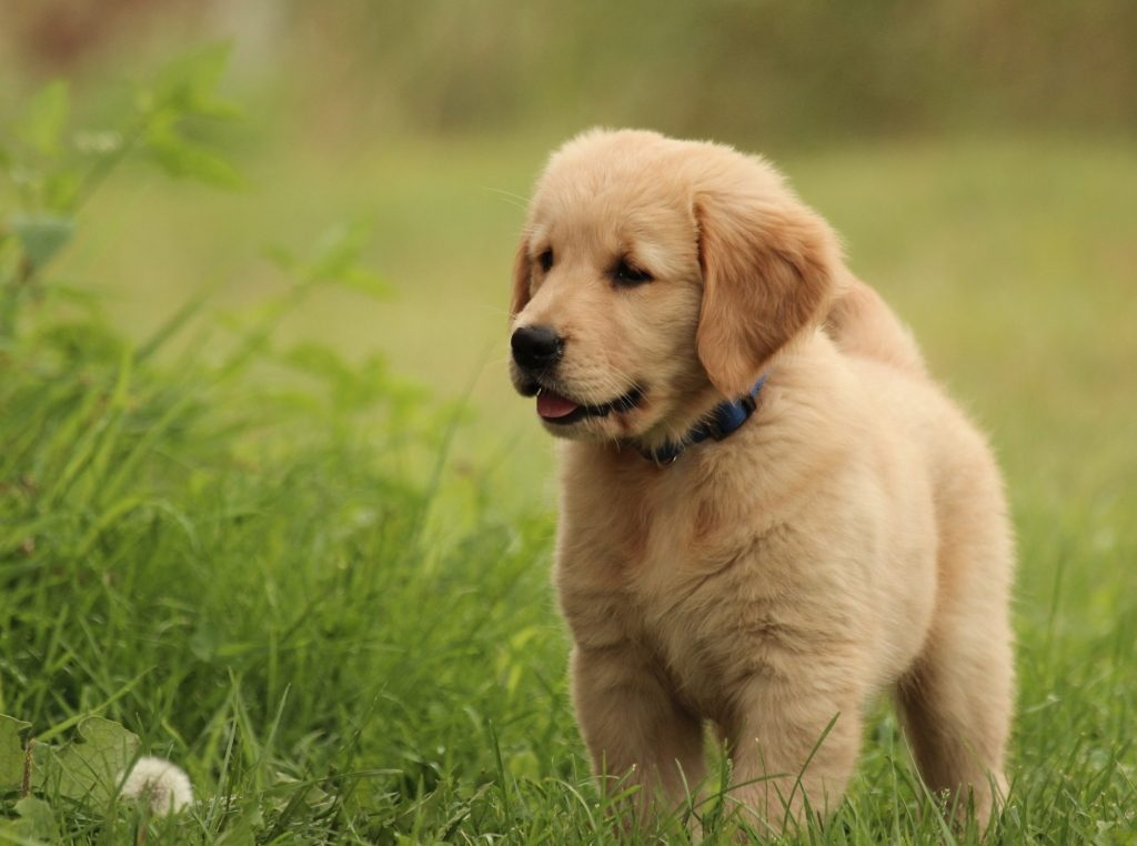 Welcome to Windy Knoll Goldens — Breeders of AKC Registered