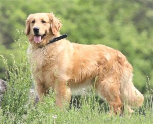 AKC Windy Knoll Goldens Goldie