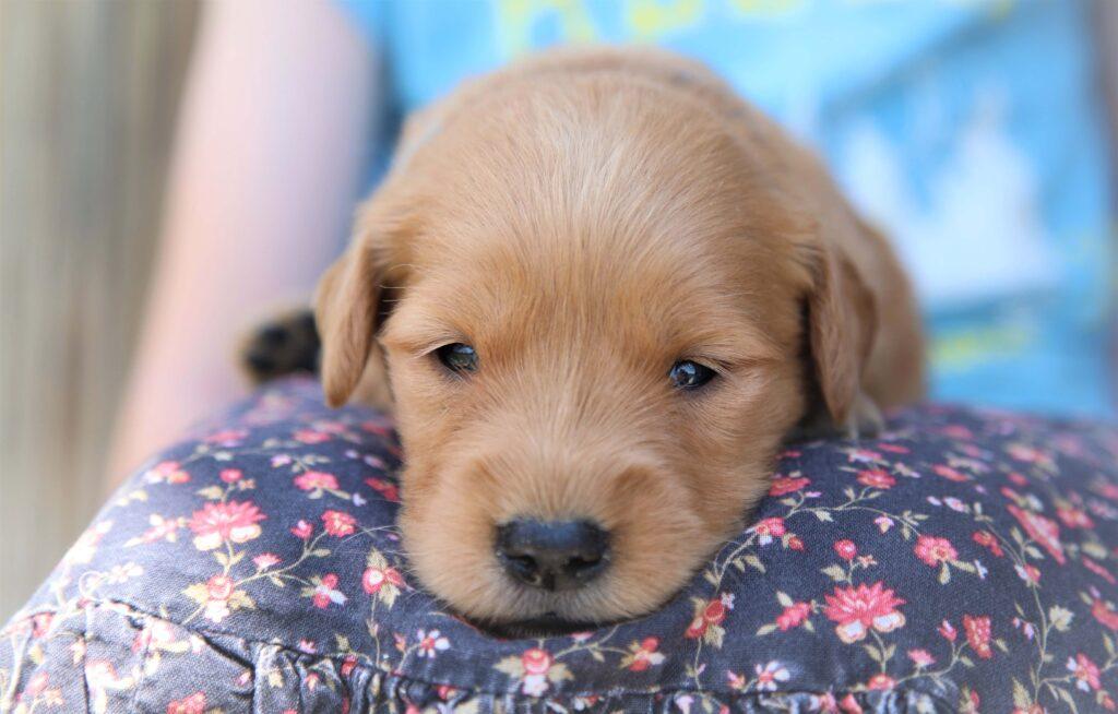 3 Week old Blond Golden Retriever Puppy
