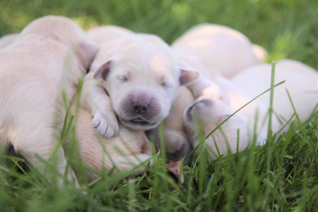 English Cream Pups