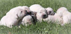 AKC English Cream Puppies